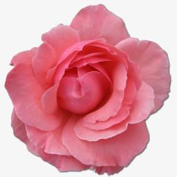 野玫瑰粉色2图标图片免费下载 Png素材 编号1yqirkxxz 图精灵
