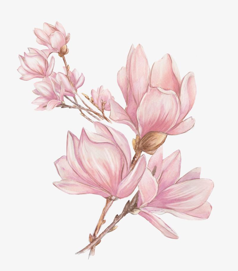 手绘粉色玉兰花图片免费下载_高清png素材_图精灵
