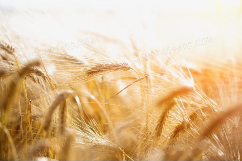 金色小麦稻田图片图片免费下载_高清png素材_图精灵