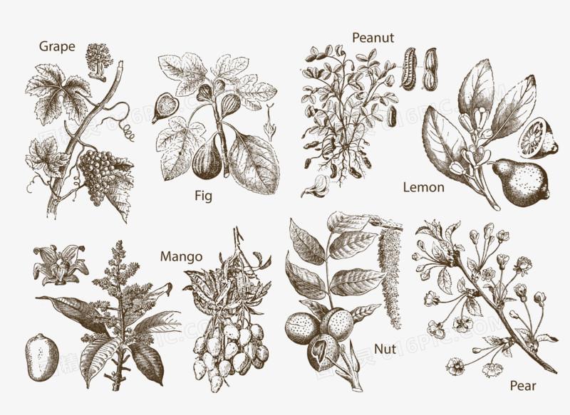 手绘坚果植物线稿