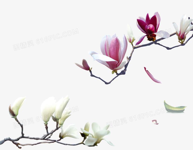 玉兰花免抠图片素材