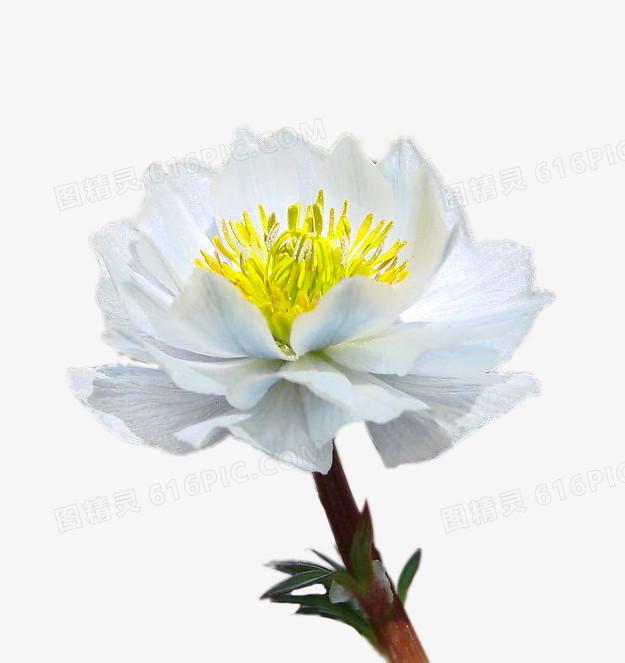 漂亮的雪莲花图片免费下载_高清png素材_图精灵