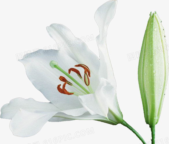白色百合花图片免费下载_高清png素材_图精灵
