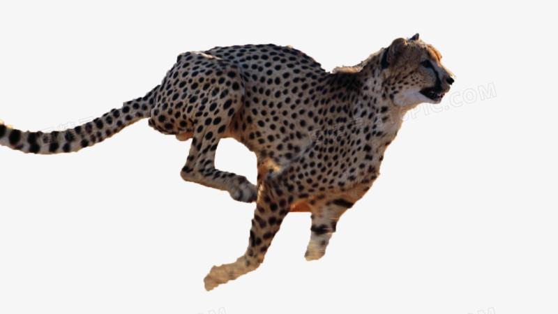 奔跑的豹子图片免费下载_高清png素材_图精灵