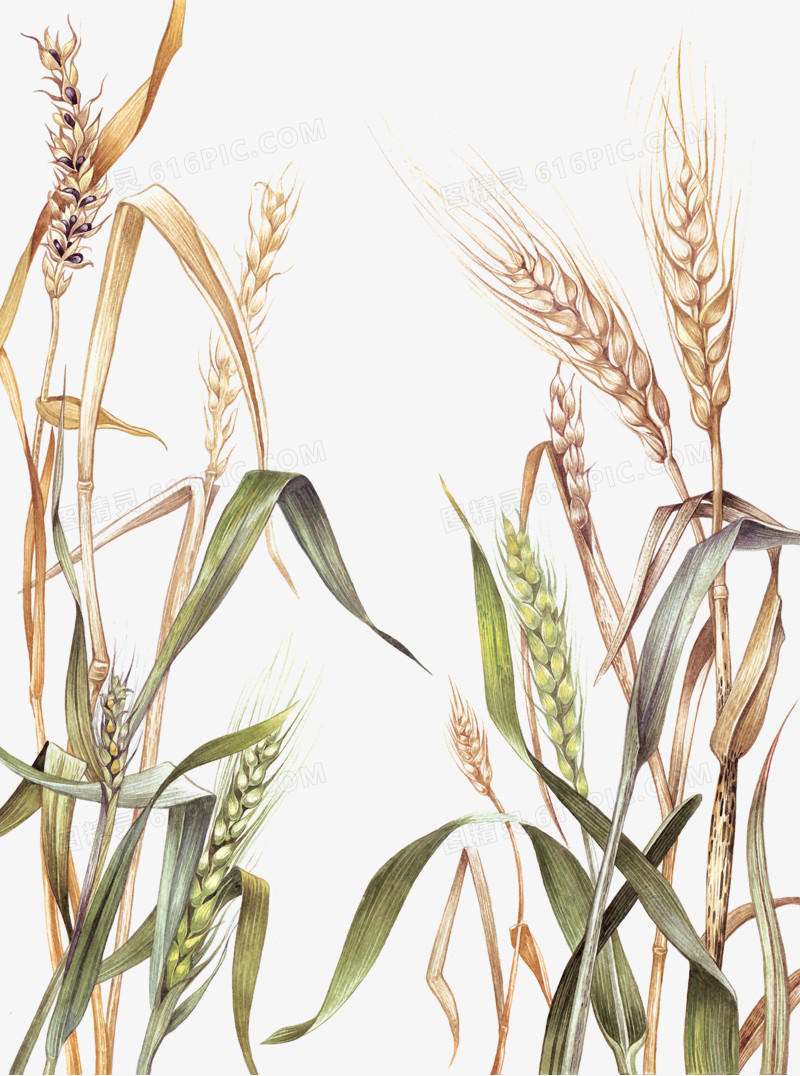 图精灵 免抠元素 卡通手绘 > 稻田里的麦穗   下载:1 收藏:0 图精灵为